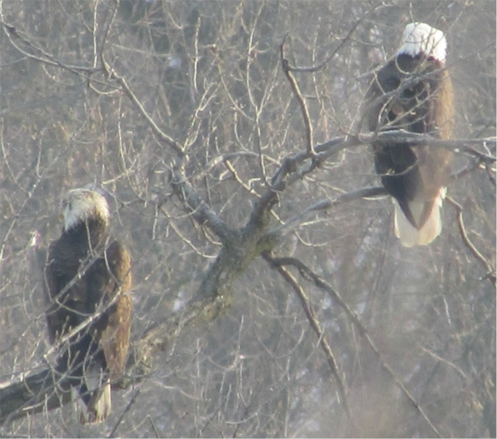 Two eagles together, the left one isa juvenile.