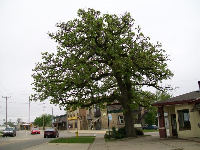 Muster Tree
