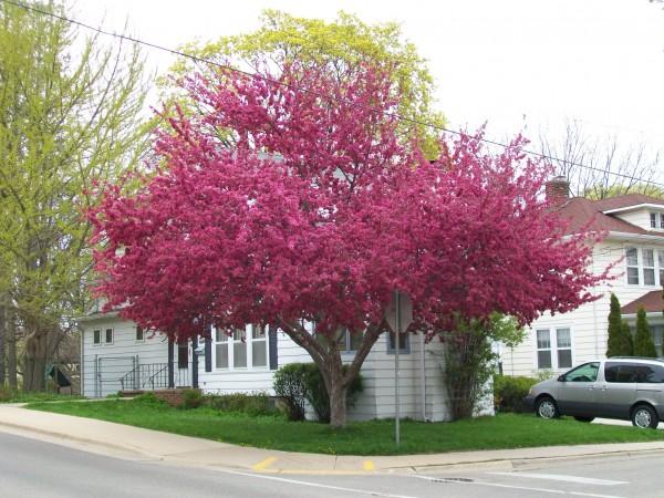 Red horse chestnut tree adventures in travel redbud tree mightylinksfo