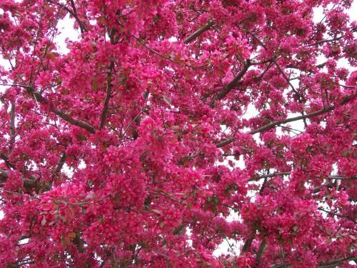 Beautiful Flowering Trees Of Spring In Wisconsin Adventures In