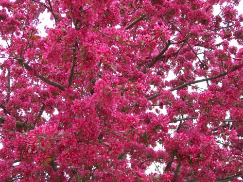 Redbud blossom closeup