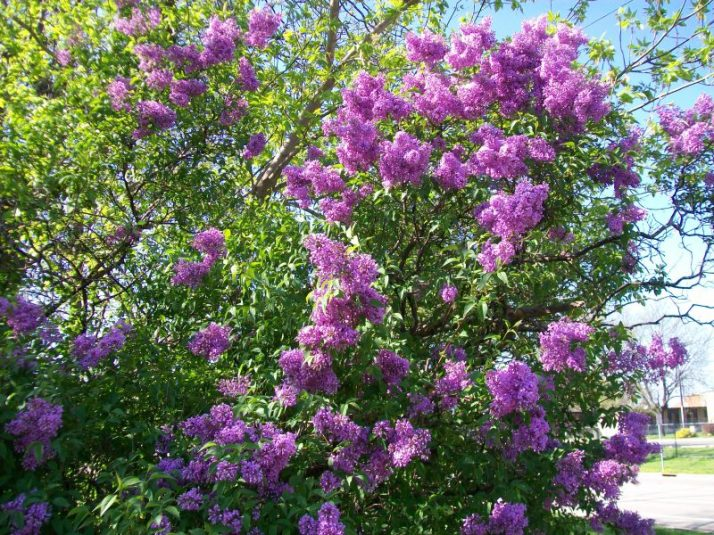 Beautiful flowering trees of spring in wisconsin adventures in travel the flowers are most often purple or white as seen on this ivory silk tree this one blooms in mid june the purple variety blooms in may mightylinksfo