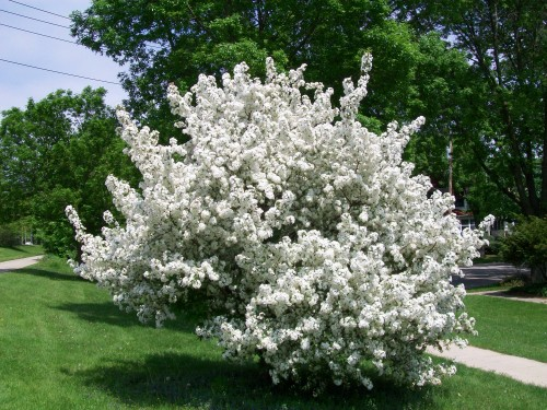 Beautiful Flowering Trees Of Spring In Wisconsin