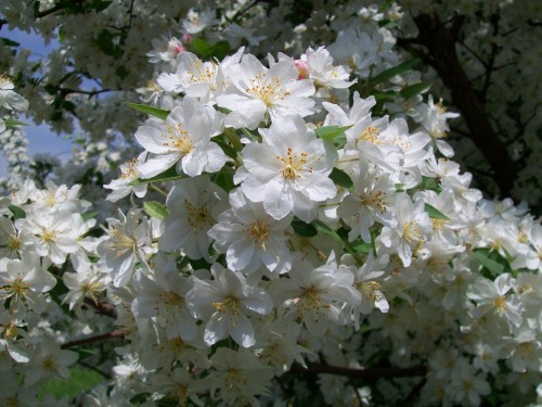 White blossom tree flowers 5-24-12