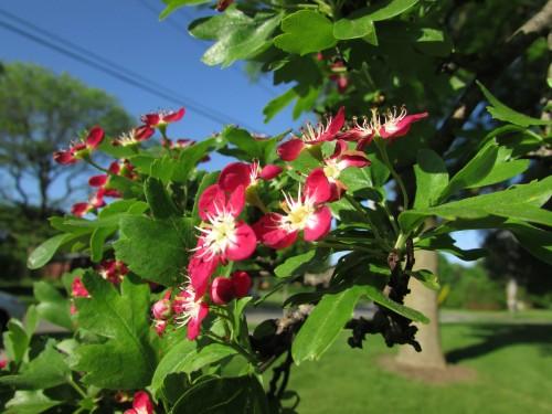 Crimson Cloud tree blossoms