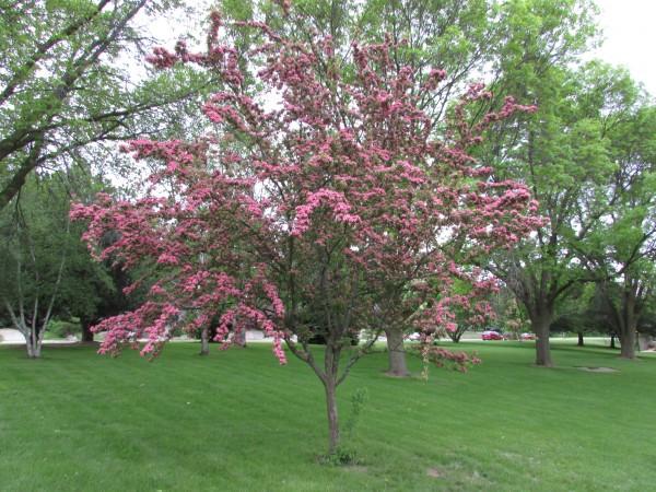 Crimson Cloud tree