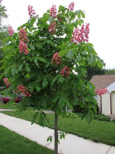 Red horse chestnut tree adventures in travel ohio buckeye tree mightylinksfo