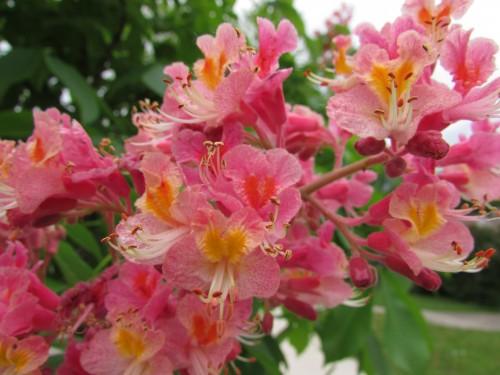 Red Horse Chestnut Tree blossom