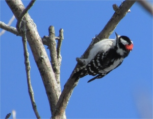 Woodpecker crop