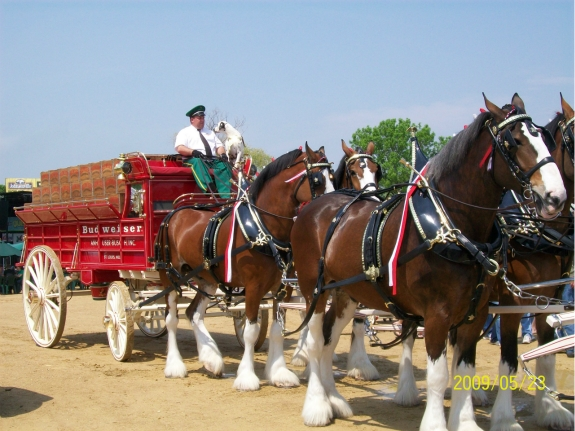 Clydesdales at Brat Fest