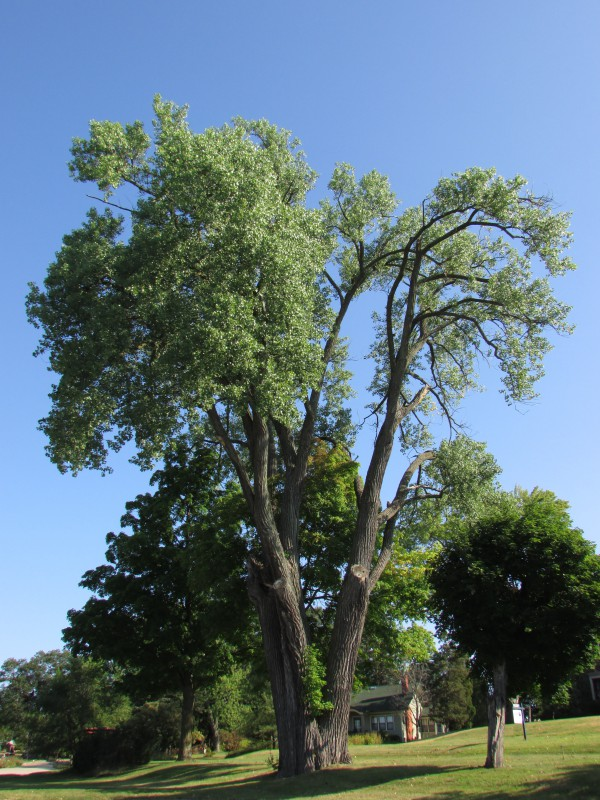 Historic Cottonwood in Montello