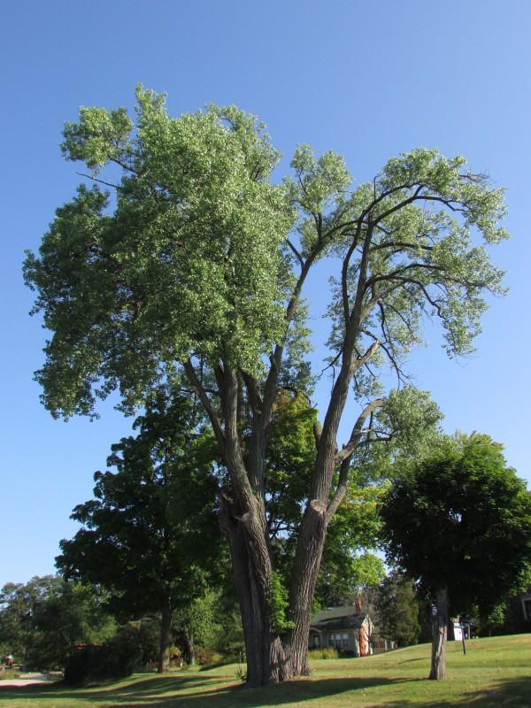 Historic Cottonwood in Montello