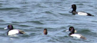 Scaup ducks 2