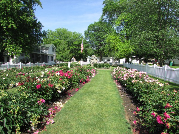 Sisson Peony Garden in June