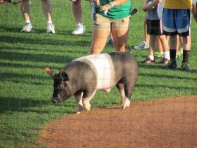 Pig at Mallards baseball game