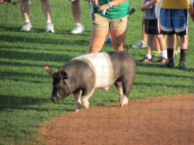 Pig at Mallards baseball game