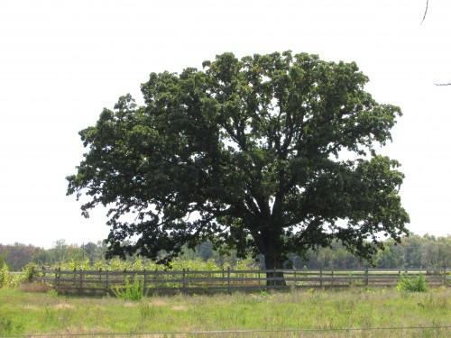 Half-Way Tree Burr Oak