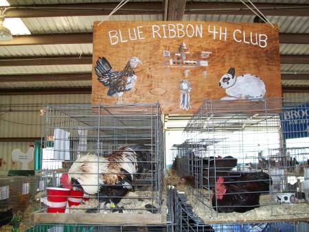 Dane county fair chickens