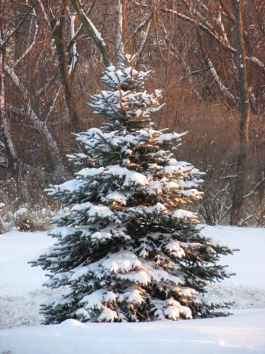 Snowy Tree 12-23-13