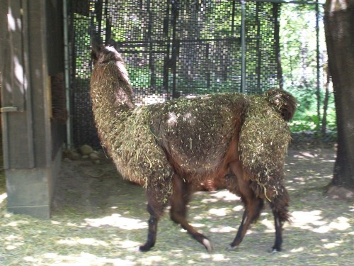 Llama at Ochsner Zoo in Baraboo