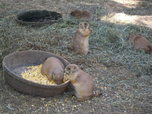 Prairie Dogs at Ochsner Zoo in Baraboo