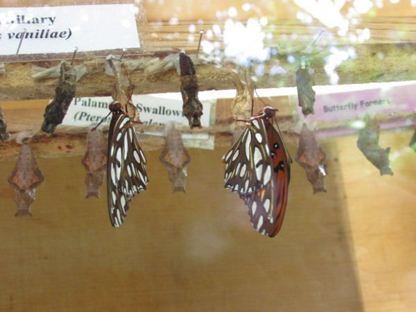 Hatching butterflies at Olbrich