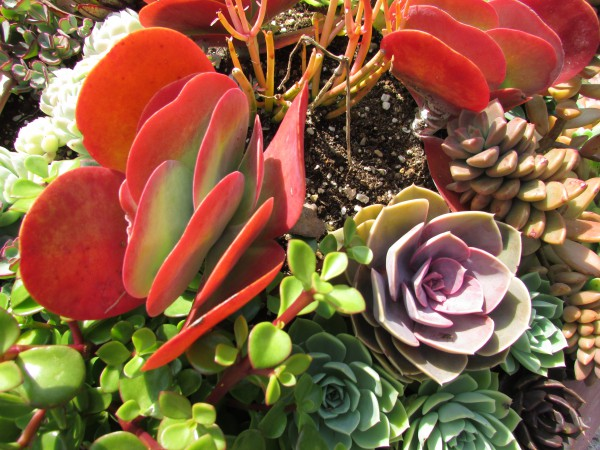 Succulents at West of the Lake Garden