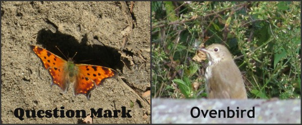 Question Mak Butterfly and Ovenbird