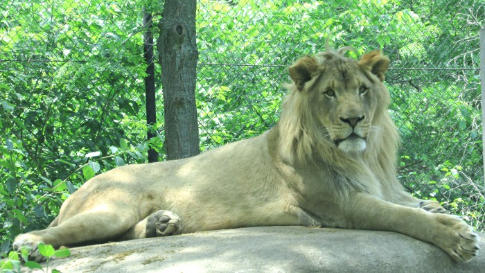 Lion at Vilas Zoo in Madison