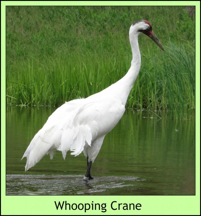 Whooping Crane at ICF