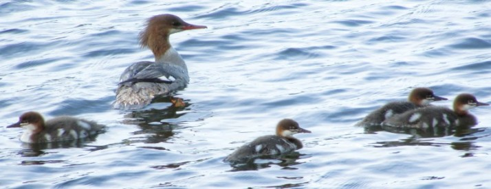 Common Merganser Ducks at Lac du Flambeau
