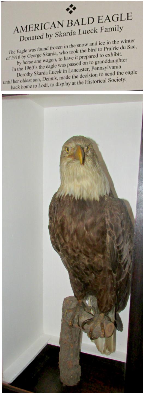 Bald Eagle display in Lodi Museum