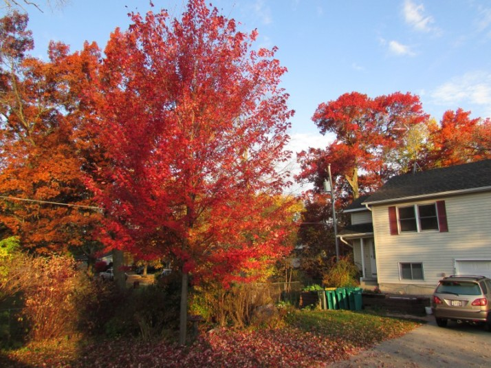Our red Maple at home
