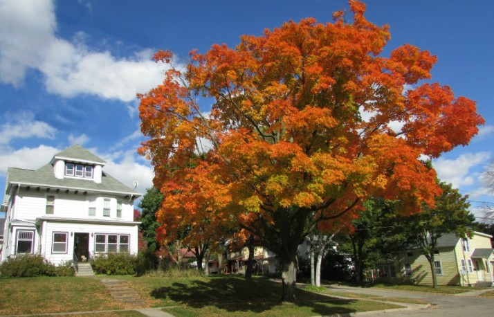 Orange Maple in Jefferson