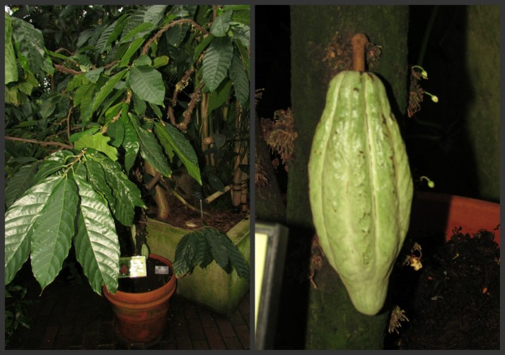 Cacao Tree and pod