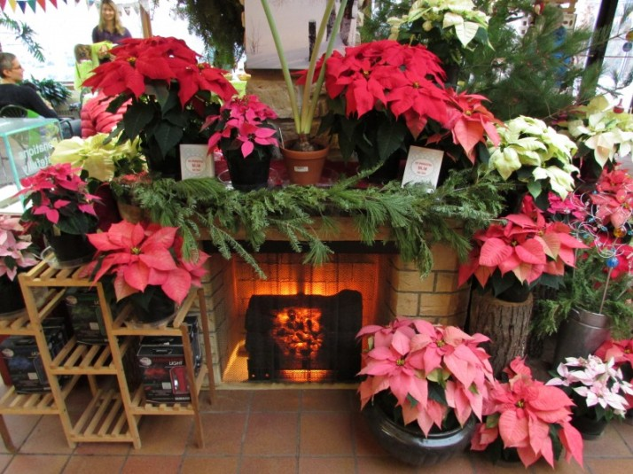 Poinsettias IMG_8551