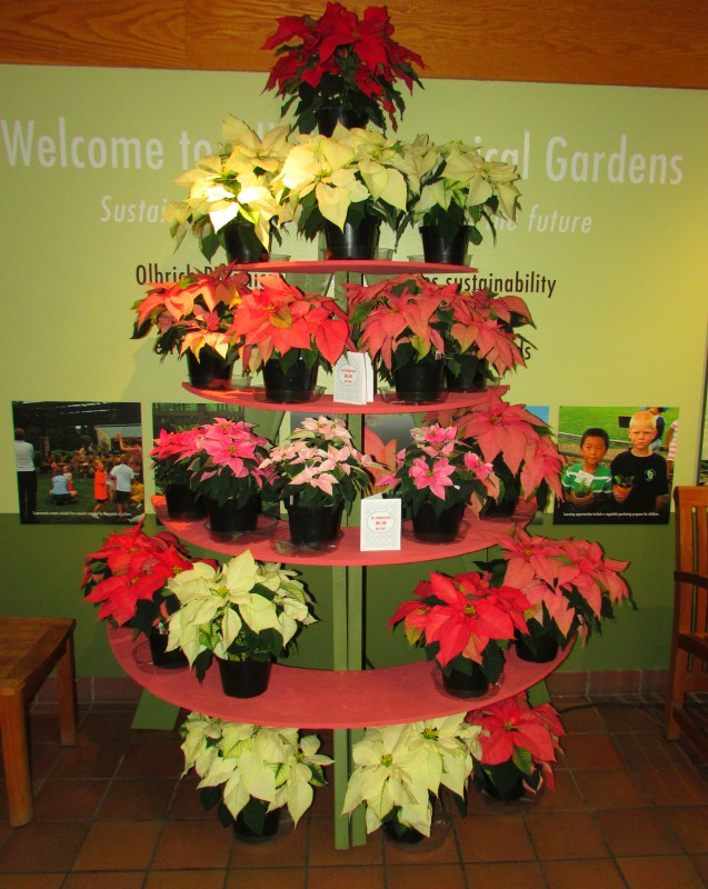 Poinsettias at Olbrich IMG_8544