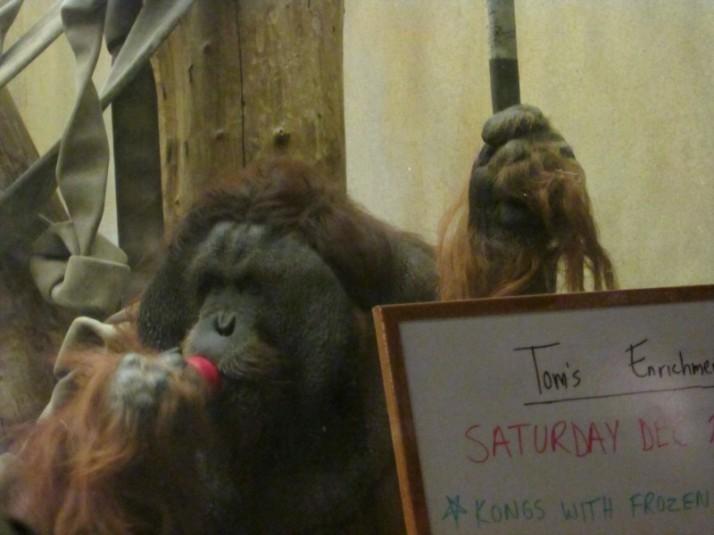 Tom the Gorilla at Milwaukee Zoo