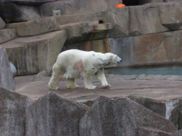 Polar bear at Milwaukee Zoo