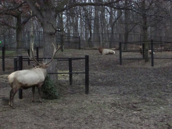 Caribou at Milwaukee Zoo