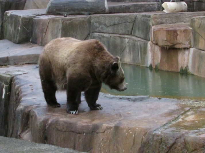 Grizzly beat at Milwaukee Zoo