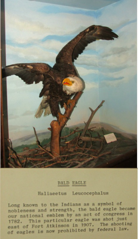 Bald Eagle display at Hoard