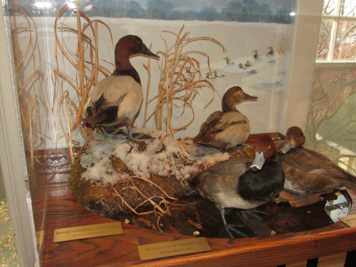 Duck display at Hoard
