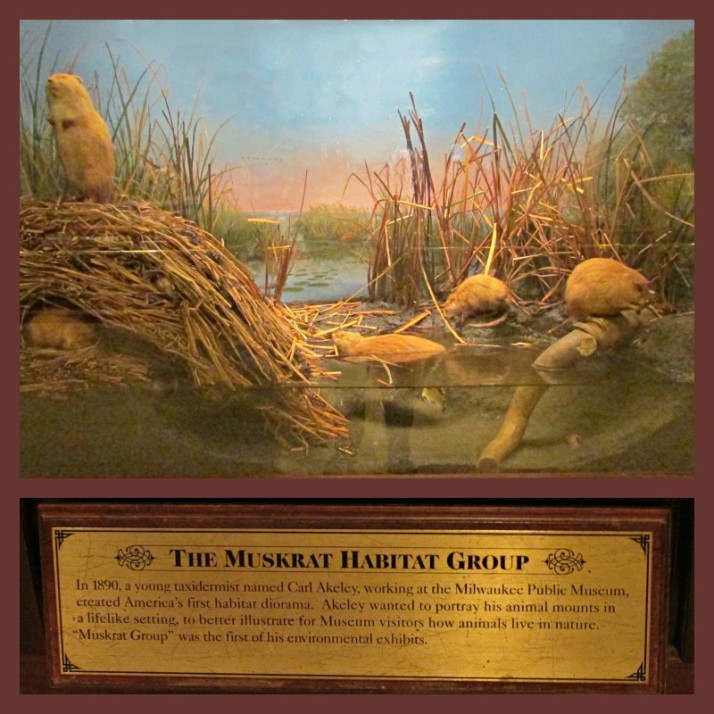 Muskrat Habitat display at museum