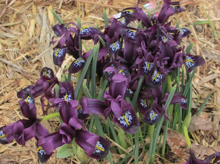 Iris at Hoard Museum
