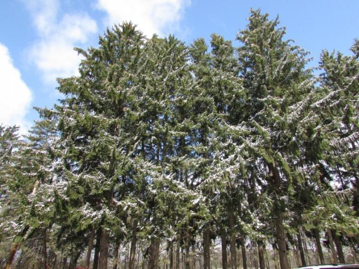 Windbreak Walk trees at Mackenzie