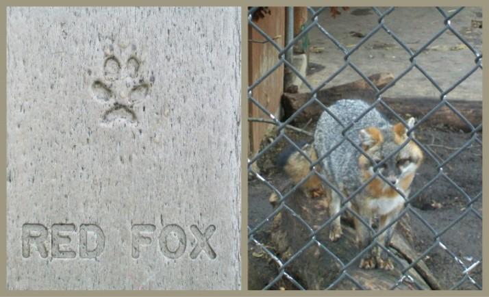 Red Fox at Mackenzie