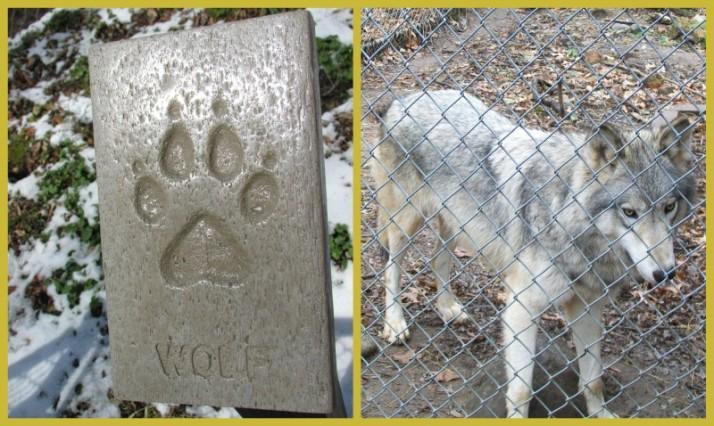 Wolf at Mackenzie