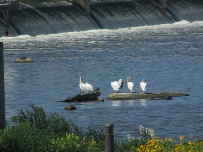 Pelicans in De Pere