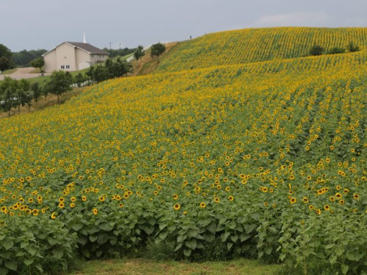 Sunflower field at Pope Farm